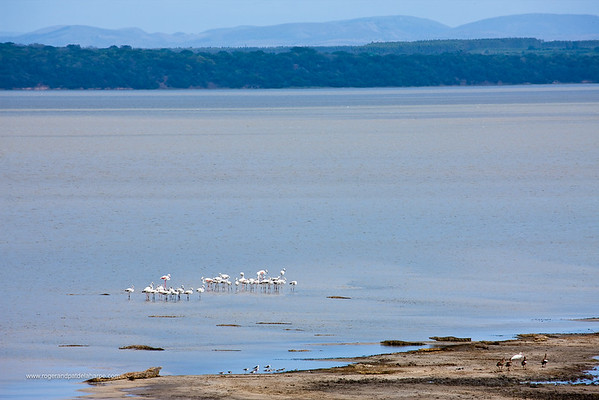 Nile Crocodile {Crocodylus Niloticus} and Lesser Flamingo (Phoeniconaias minor) in Catalina Bay with the Western Shores and Lebombo Mountains in the background. Lake St Lucia. Isimangaliso Wetland Park (Greater St Lucia Wetland Park). KwaZulu Natal. South Africa