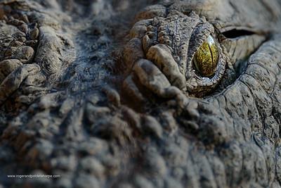 Nile crocodile (Crocodylus niloticus). Detail of eye. South Africa