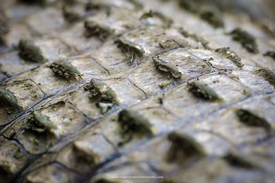 Nile crocodile (Crocodylus niloticus) showing scales or scutes. KwaZulu Natal. South Africa