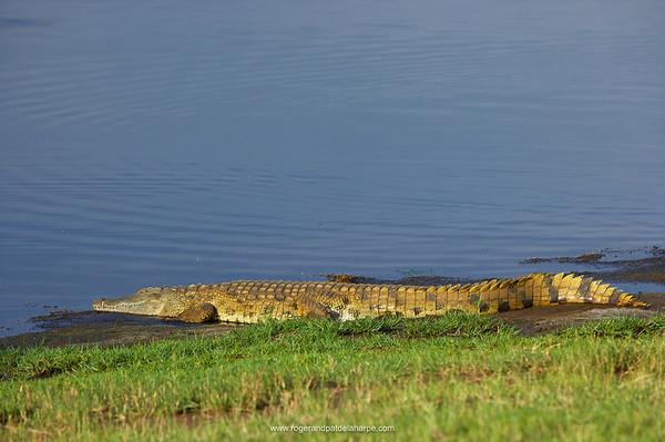 Nile Crocodile (Crocodylus niloticus). Ndumo Game Reserve. KwaZulu Natal. South Africa