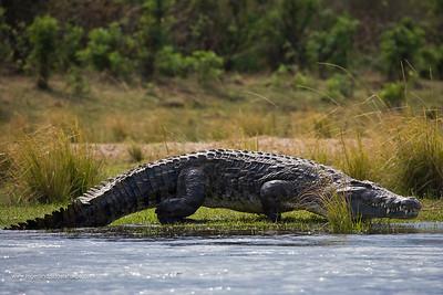 Nile Crocodile (Crocodylus niloticus) walking. Lower Zambezi National Park. Zambia