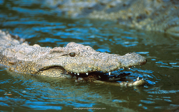 Nile Crocodile releasing its young into the water. Greater St Lucia Wetland Park. KwaZulu-Natal. South Africa.