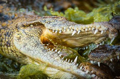 Wildlife Photographs - Crocodiles