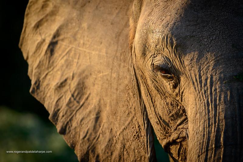 African bush elephant (Loxodonta africana), also known as the African savanna elephant or African elephant. Botswana