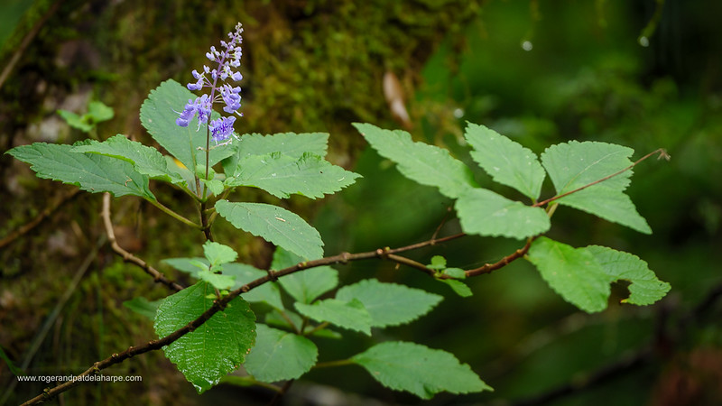 Image Number GH5R313946. Flower. Plectranthus sp. Garden Route. Western Cape. South Africa