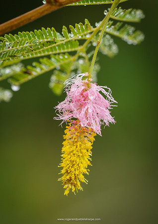 Water drops on foliage. Sicklebush, Bell mimosa, Chinese lantern tree or Kalahari Christmas tree (Dichrostachys cinerea) flower. North West Province. South Africa