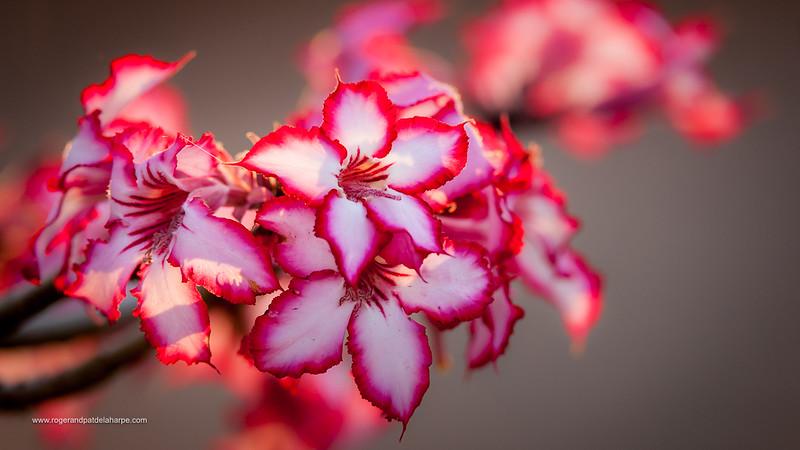 Impala Lily Flower Print