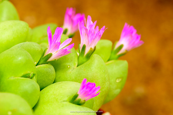 Gibbaeum or Wegkruipvygie (Gibbaeum cryptopodium). Western Cape. South Africa