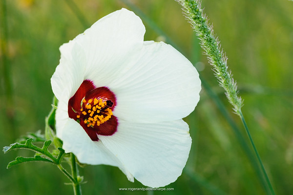 Wild Hybiscus (Hibiscus engleri) flower. Madikwe Game Reserve. North West Province. South Africa