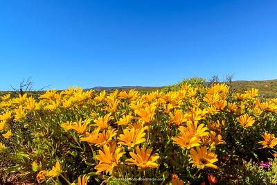 Namaqualand Daisy (Dimorphotheca sinuata) near Garies. Namaqualand. Northern Cape. South Africa.
