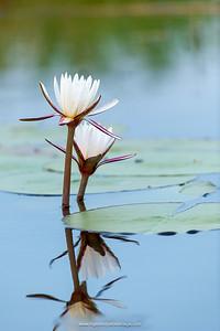 Water lilies (Nymphaea nouchali). Okavango Delta. Botswana