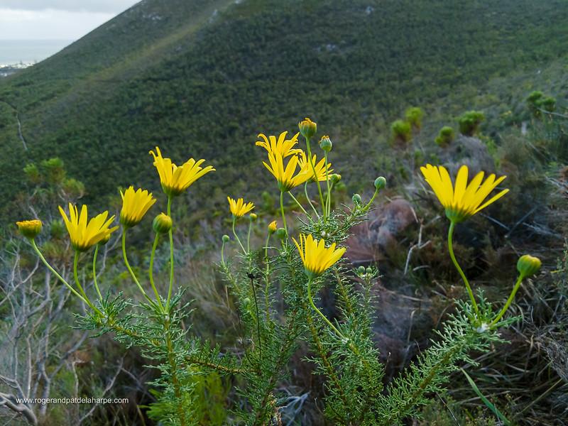Image Number DJI-R 396502. Lace-leaf euryops, mountain resin bush, bergharpuisbos or geelmagriet (Euryops abrotanifolius). Fernkloof Nature Reserve, Hermanus, Whale Coast, Overberg, Western Cape. South Africa