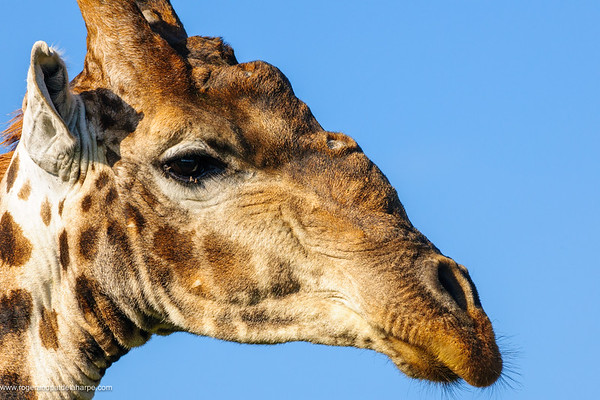 Giraffe (Giraffa camelopardalis). Madikwe Game Reserve. North West Province. South Africa