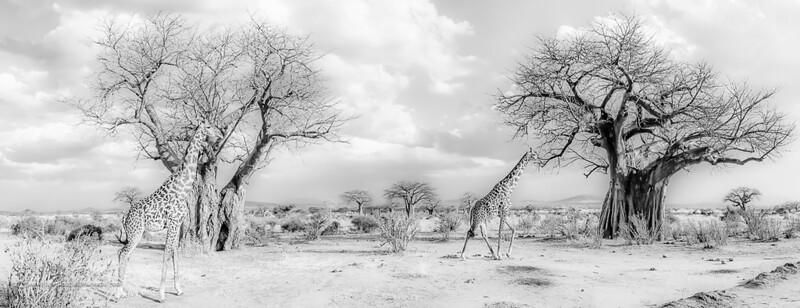 Giraffes and Babobabs Art Print