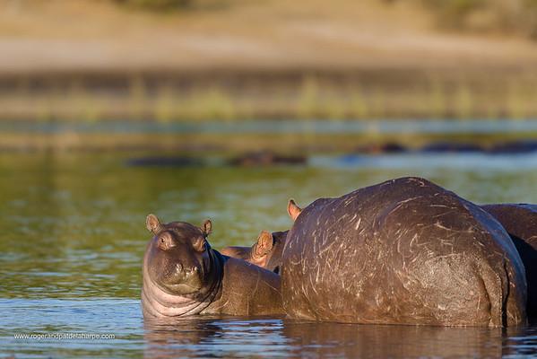 Common hippopotamus or hippo (Hippopotamus amphibius). Chobe National Park. Botswana