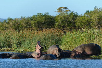 """Hippopotamus (Hippopotamus amphibius). Isimangaliso Wetland Park (Greater St Lucia Wetland Park). KwaZulu Natal. South Africa. The hippo, from the ancient Greek for """"river horse"""" ), is a large, mostly herbivorous mammal in sub-Saharan Africa, and one of only two extant species in the family Hippopotamidae.  The hippopotamus is the third largest land animal (after the elephant and the white rhinoceros) and the heaviest extant artiodactyl, despite being considerably shorter than the giraffe. The hippopotamus is semi-aquatic, inhabiting rivers and lakes where territorial bulls preside over a stretch of river and groups of 5 to 30 females and young. During the day they remain cool by staying in the water or mud; reproduction and childbirth both occur in water. They emerge at dusk to graze on grass. While hippopotamuses rest near each other in the water, grazing is a solitary activity and hippos are not territorial on land. Despite their physical resemblance to pigs and other terrestrial even-toed ungulates, their closest living relatives are cetaceans (whales, porpoises, etc.) from which they diverged about 55 million years ago."""