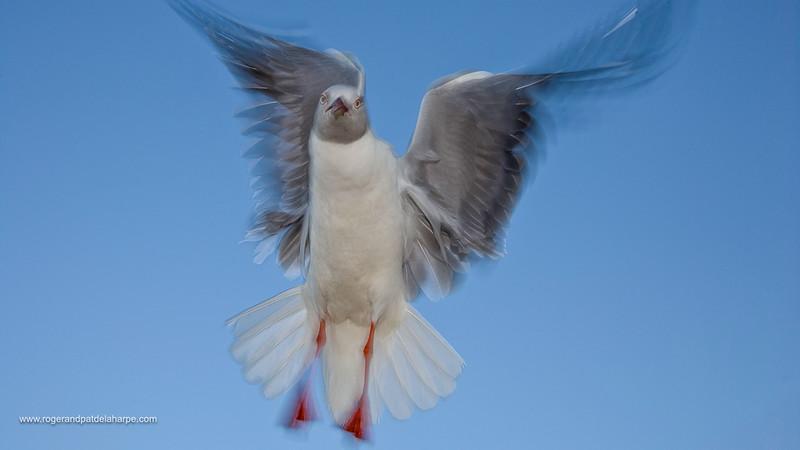 Greyheaded Gull (Larus cirrocephalus). Cape Vidal. iSimangaliso Wetland Park or The Greater St. Lucia Wetlands Park. KwaZulu Natal. South Africa