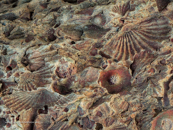 Fossilised (fossilized) shells, plants and crinoids. Karoo, Western Cape, South Africa.