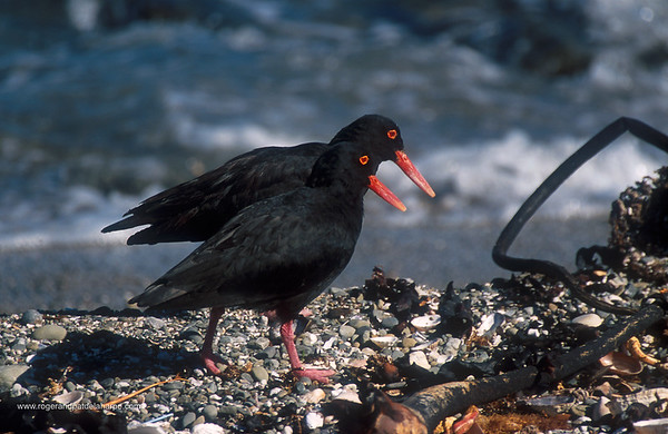 African Black Oyster Catcher. Robben Island. Cape Town. Western Cape. South Africa