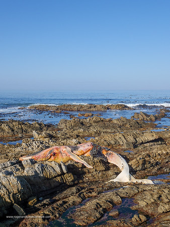 Image Number GH5R395158. Dead southern right whale (Eubalaena australis) on the rocky shoreline near Hermanus. Whale Coast. Western Cape. South Africa