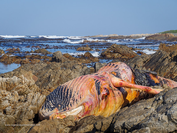 Image Number GH5R395230. Dead southern right whale (Eubalaena australis) on the rocky shoreline near Hermanus. Whale Coast. Western Cape. South Africa