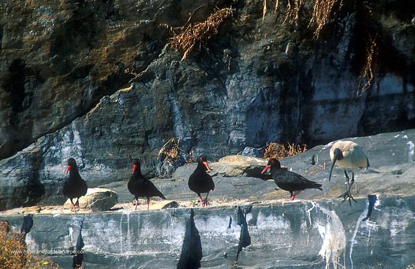 African Black Oyster Catchers and a sacred Ibis on rock.  Robben Island. Cape Town. Western Cape. South Africa