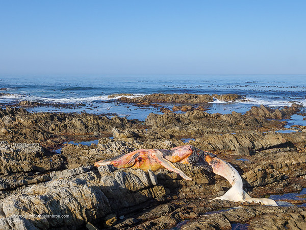 Image Number GH5R395154. Dead southern right whale (Eubalaena australis) on the rocky shoreline near Hermanus. Whale Coast. Western Cape. South Africa