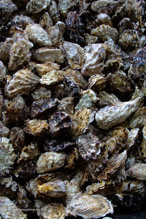 Cultivated Oysters at Knysna Oyster Factory. Knysna. Western Cape. South Africa
