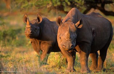 Black Rhino (Diceros bicornis) cow and calf in veld. Mkuzi Game Reserve. KwaZulu-Natal. South Africa.