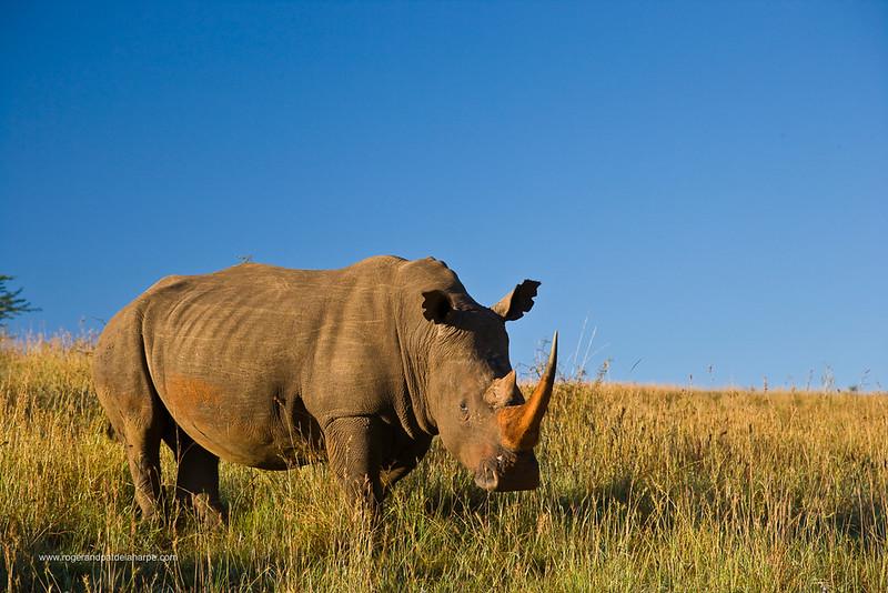 White Rhinoceros or Square-lipped Rhinoceros (Ceratotherium simum). Itala Game Reserve. KwaZulu Natal. South Africa