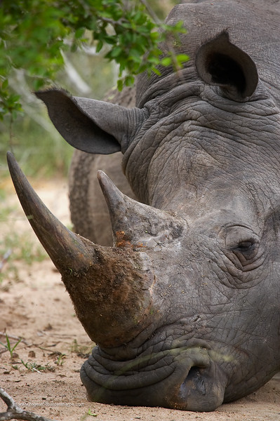 White Rhino (Ceratotherium simum) sleeping. MalaMala Game Reserve. Mpumalanga. South Africa