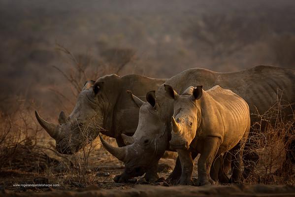 Wildlife Photographs - Rhino