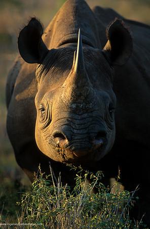Black Rhino. Hluhluwe Umfolozi Park. KwaZulu-Natal. South Africa.