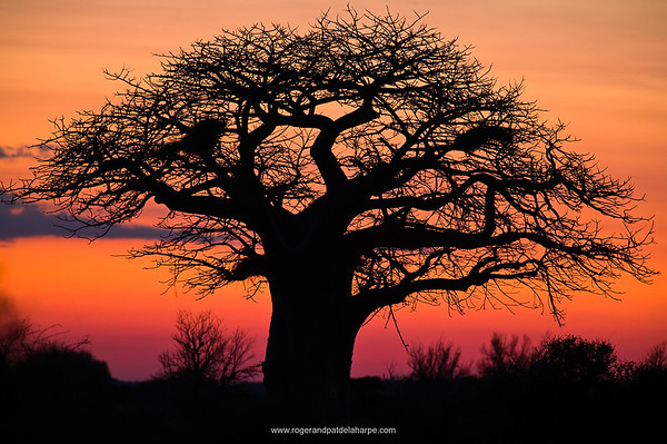 Baobab Tree (Andansonia digitata) at dawn. Charter Reserve. Northern Tuli Game Reserve. Botswana.