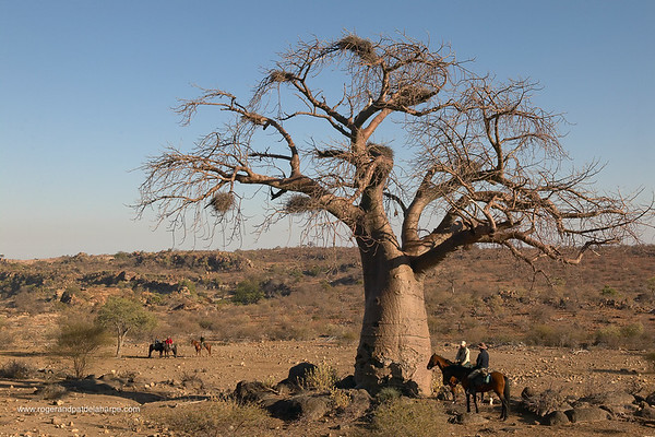 Guests beneath a Baobab Tree (Andansonia digitataon) horse safari at Mashatu Game Reserve. Northern Tuli Game Reserve. Botswana