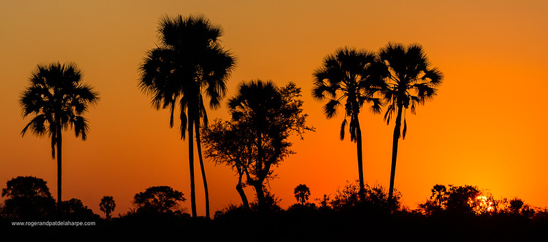 Real fan palm or Makalani palm (Hyphaene petersiana) at sunset .Okavango Delta. Botswana