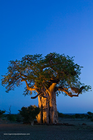 Baobab Tree (Andansonia digitata) at twilight. Tuli Lodge. Northern Tuli Game Reserve. Botswana.