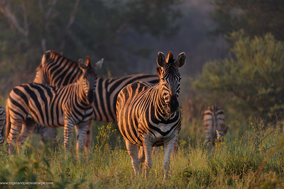 Plains zebra (Equus quagga, formerly Equus burchelli), also known as the common zebra or Burchell's zebra, is the most common and geographically widespread species of zebra. Madikwe Game Reserve. North West Province. South Africa