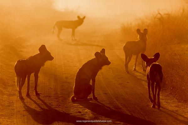Wild Dog (Lycaon pictus). Hoedspruit Conservation Centre. Hoedspruit. Limpopo Province. South Africa