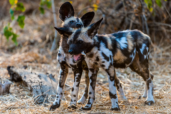 African wild dog (Lycaon pictus) pups playing. Mashatu Game Reserve. Northern Tuli Game Reserve.  Botswana. It is also called the, African hunting dog, Cape hunting dog, painted dog, painted wolf, painted hunting dog, spotted dog, or ornate wolf.