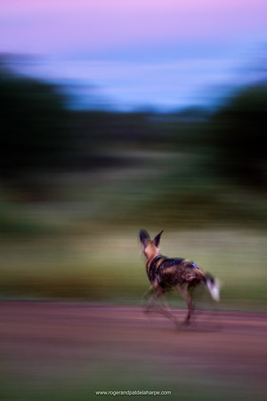 Wild Dogs (Lycaon pictus). Madikwe Game Reserve. North West Province. South Africa