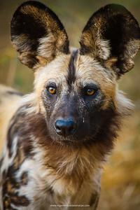 Wild Dog (Lycaon pictus). Northern Tuli Game Reserve.  Botswana