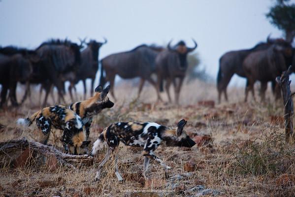 Wild Dog (Lycaon pictus) and Blue Wildebeest (Connochaetes taurinus). Northern Tuli Game Reserve.  Botswana
