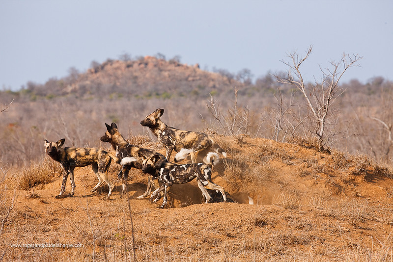 Wild Dog {Lycaon Pictus}. Manyeleti Game Reserve. Limpopo Province. South Africa