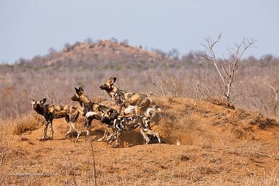Wild Dog {Lycaon Pictus}. Manyeleti Game Reserve. Limpopo Province. South Africa