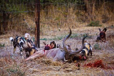 Wild Dog (Lycaon pictus) feeding on a young Greater Kudu (Tragelaphus strepsiceros) bull. Northern Tuli Game Reserve.  Botswana