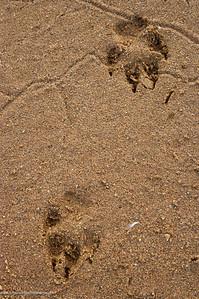 Wild dog (Lycaon pictus) soor in White Umfolozi River. Hluhluwe Imfolozi Park. KwaZulu Natal. South Africa