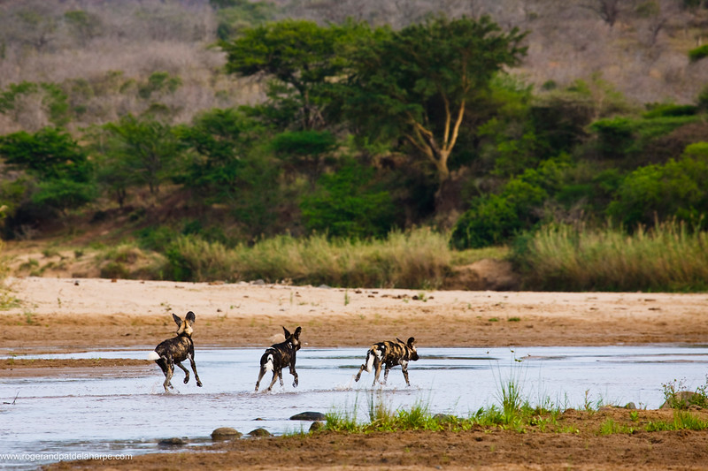 Wild Dog (Lycaon pictus). Hluhluwe iMfolozi Park. KwaZulu Natal. South Africa