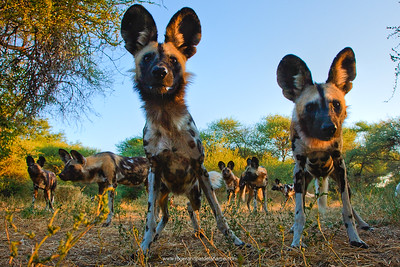 Wildlife Photographs - Wild Dogs