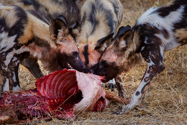 Wild Dog (Lycaon pictus) feeding on an Impala (Aepyceros melampus). Northern Tuli Game Reserve.  Botswana